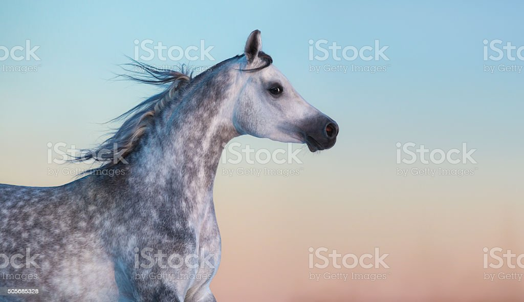 Gray purebred Arabian horse on background of evening sky stock photo
