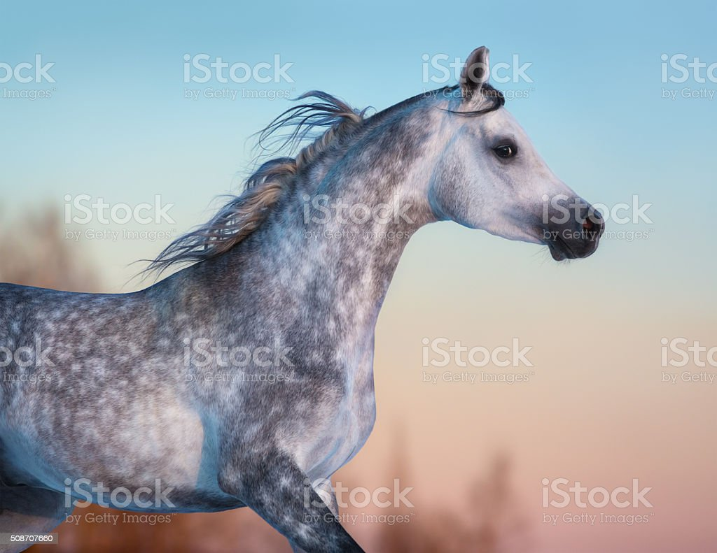 Gray purebred Arabian horse on background of evening sky stock photo