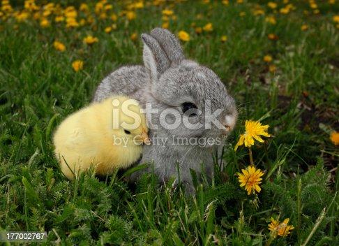 istock Gray rabbit bunny baby and yellow chick 177002767