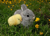 istock Gray rabbit bunny baby and yellow chick 177002767