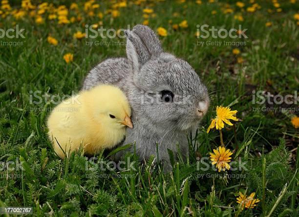 Gray rabbit bunny baby and yellow chick picture id177002767?b=1&k=6&m=177002767&s=612x612&h=82wypu5sqb9kbziv3bbd5d71zxn1y3bx6za7 3uoye0=