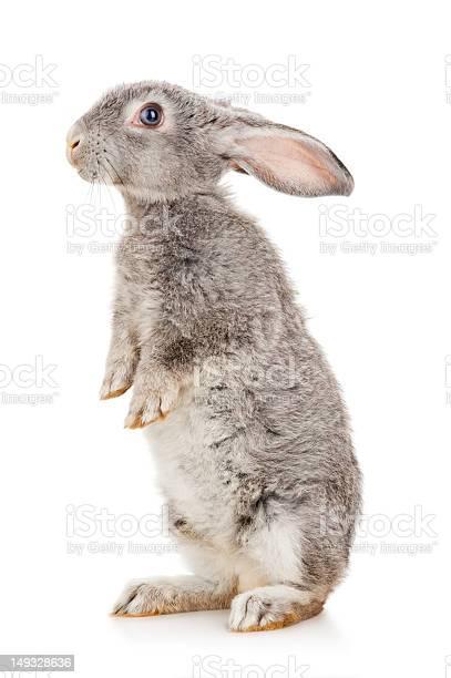 Gray rabbit picture id149328636?b=1&k=6&m=149328636&s=612x612&h=aotke88g6dhb sravi3xjw0jfxwzkng qtl3qqjpnk4=