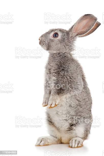 Gray rabbit picture id178384885?b=1&k=6&m=178384885&s=612x612&h=aqegpfsoat0hreqsfjjzx8kduchpbmkkbnw8qumc oi=