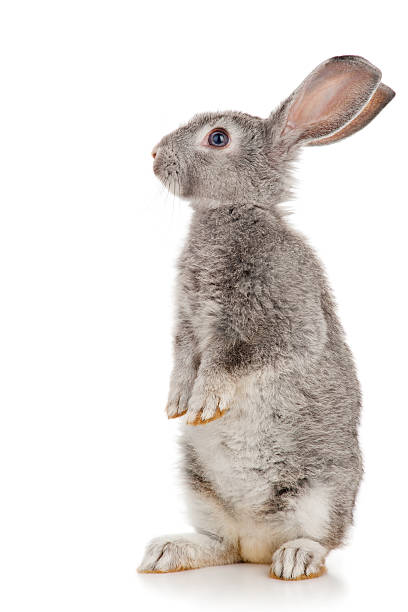 gray rabbit - rabbit stock photos and pictures