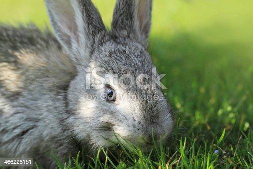 istock Gray rabbit 466226151