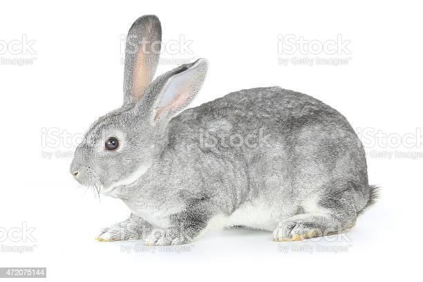 Gray rabbit picture id472075144?b=1&k=6&m=472075144&s=612x612&h=cdei79bj ks ihdvxkl7qt gtx 7cycmgj 4zyiu wq=