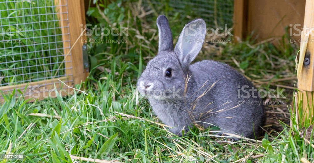 Graue Kaninchen – Foto