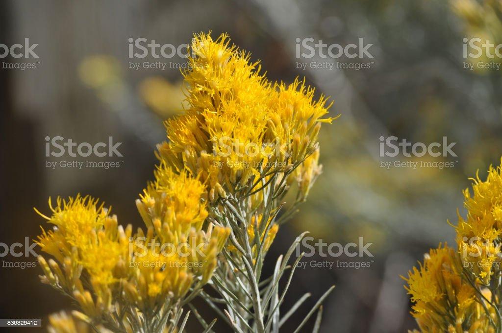 Gray Rabbitbrush Flowers stock photo