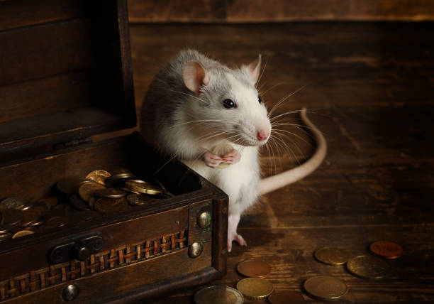 Rata gris sostiene una moneda en sus patas junto a un cofre lleno de dinero - foto de stock