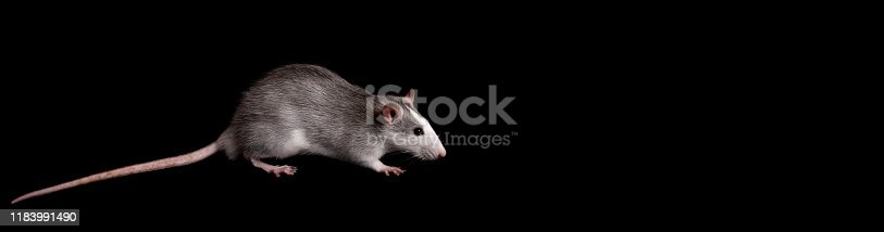 istock Gray rat isolated on black background. Rodent pets. Domesticated rat close up. The rat is looking at the camera 1183991490