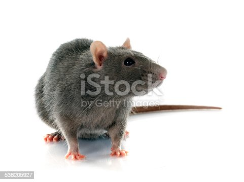 gray rat in front of white background