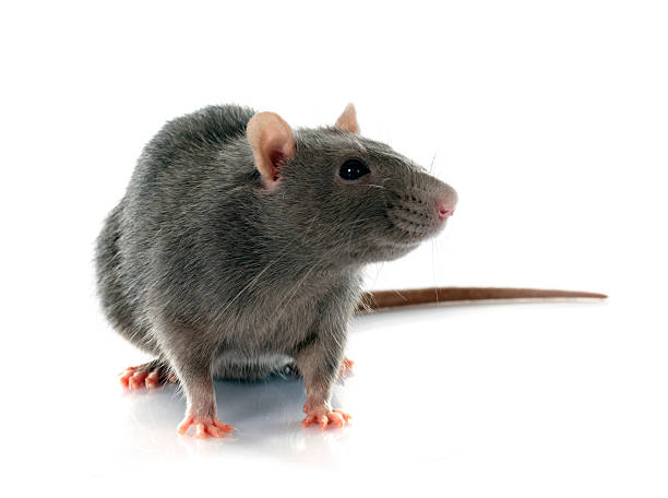 gray rat gray rat in front of white background rodent stock pictures, royalty-free photos & images