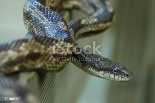 Gray rat snake on nature boardwalk