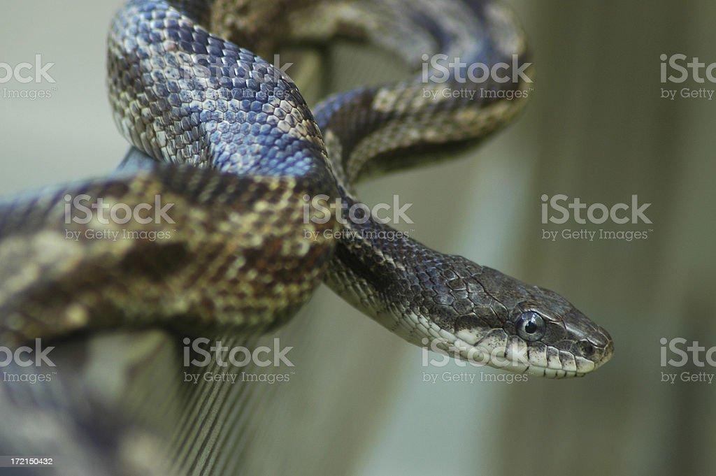 Gray Rat Snake #1 stock photo