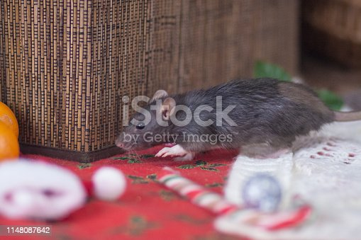 1206982378 istock photo Gray rat steals. Gray mouse is running. Decorative animals. 1148087642