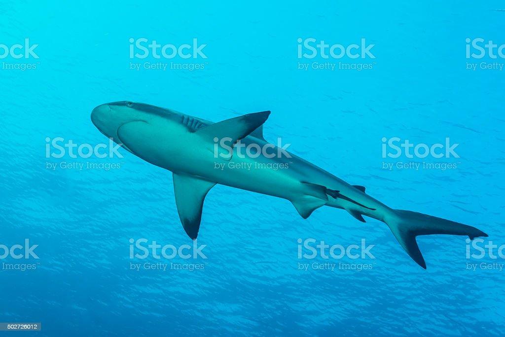 Gray reef shark, Blue Corner - Palau stock photo