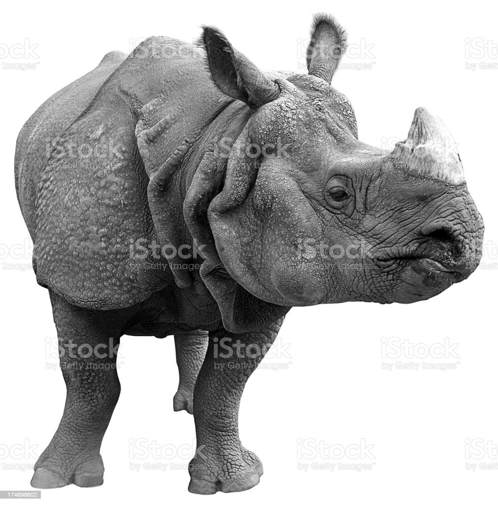 Gray rhinoceros on a white background  stock photo