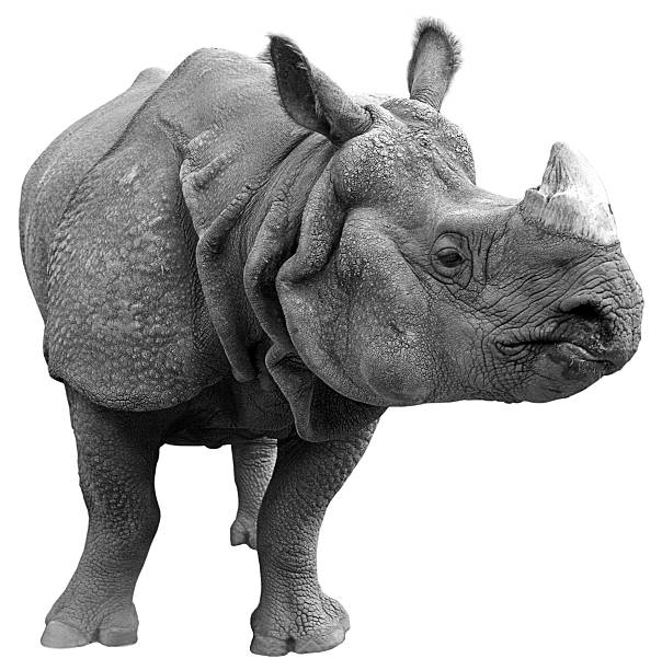 gray rhinoceros on a white background  - mammal stock photos and pictures