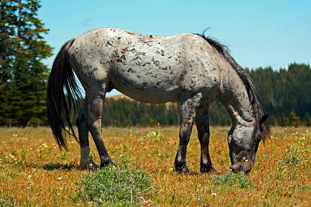 Gray Scarred Mustang Stallion grazing in the Pryor Mountains stock photo