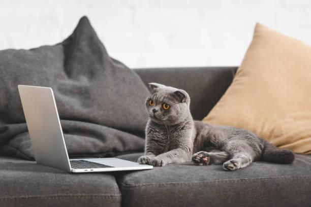 Gray scottish fold cat looking at laptop while lying on sofa picture id1184857508?b=1&k=6&m=1184857508&s=612x612&w=0&h=ypkyj37d s4h837o4la1rgavzcx0t6xxhdq95kymv9g=