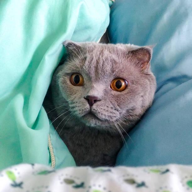 Chat gris Scottish Fold furtivement entre les oreillers - Photo