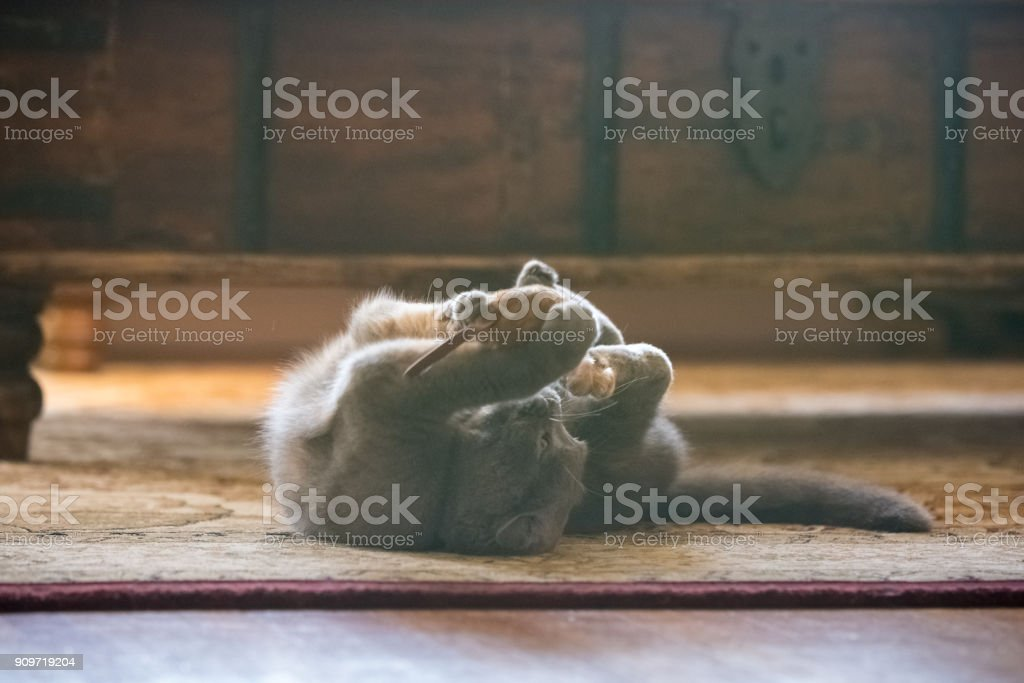 Gray Scottish Fold cat playing with toy mouse in living room stock photo