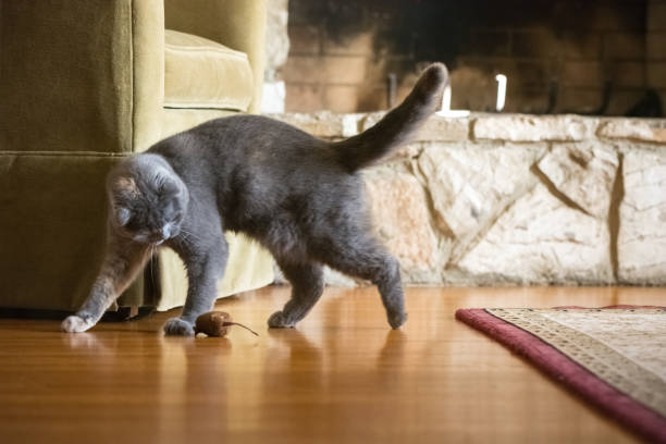 Gray scottish fold cat playing with toy mouse in living room picture id909719246?b=1&k=6&m=909719246&s=612x612&w=0&h=puwip5ddugmydjnjb0lldepfqsyc 1wafai7nxoz6yu=