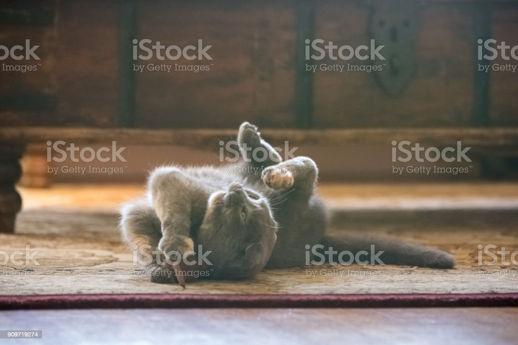 Gray Scottish Fold cat playing with toy mouse in living room royalty-free stock photo