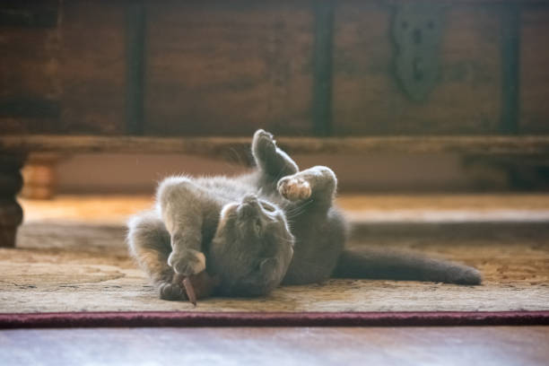 Gray scottish fold cat playing with toy mouse in living room picture id909719274?b=1&k=6&m=909719274&s=612x612&w=0&h=f7 rvki7bf6w3nzbk17z 7hpv7l04yntb4c0lbhn5gq=
