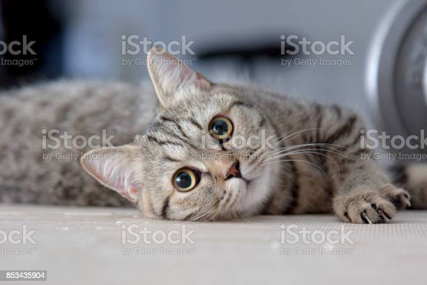 Gray scottish fold squat in the floor picture id853435904?b=1&k=6&m=853435904&s=612x612&h=jc37cjistv jdr3o6iqzjlid owk 0ay8hrmq74f t8=