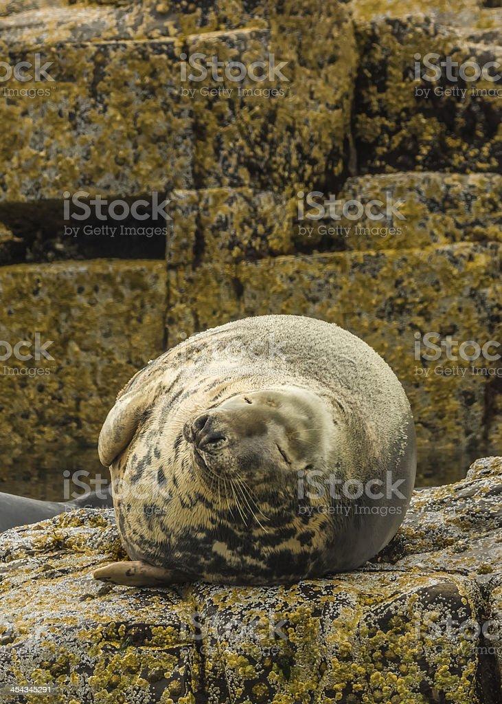 Gray Seal / Halichoerus grypus royalty-free stock photo