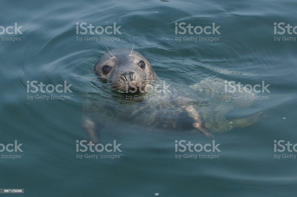 Gray seal (Halichoerus grypus) stock photo