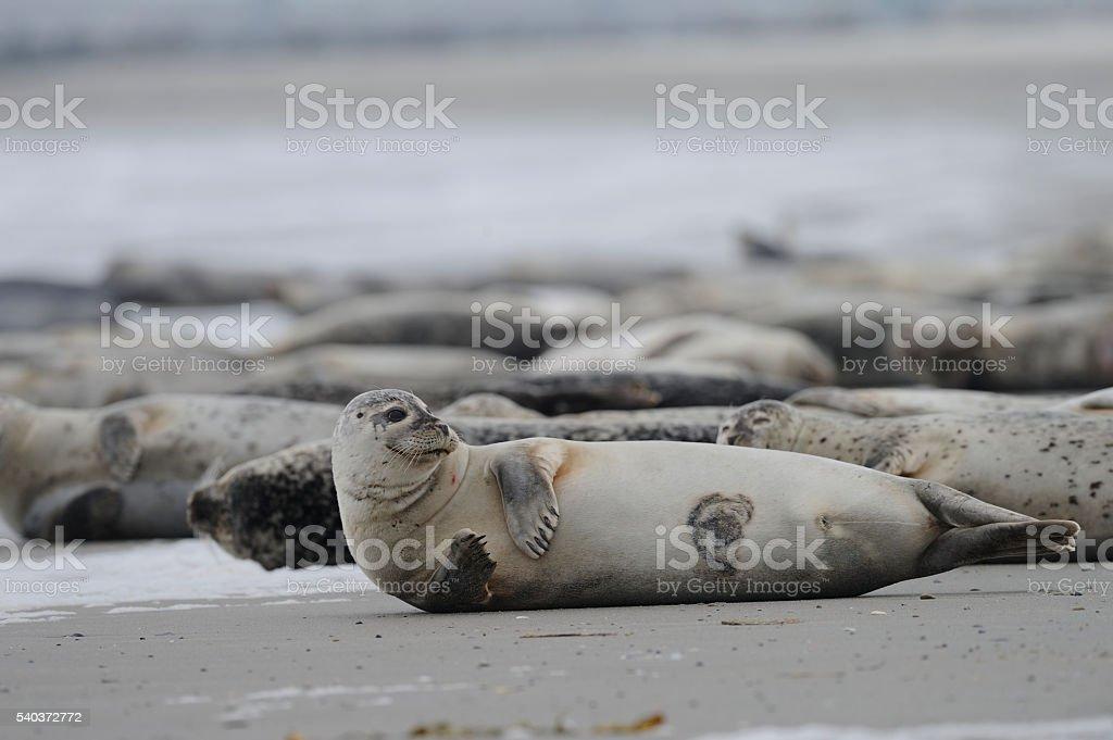 Gray seals on a North Sea beach stock photo