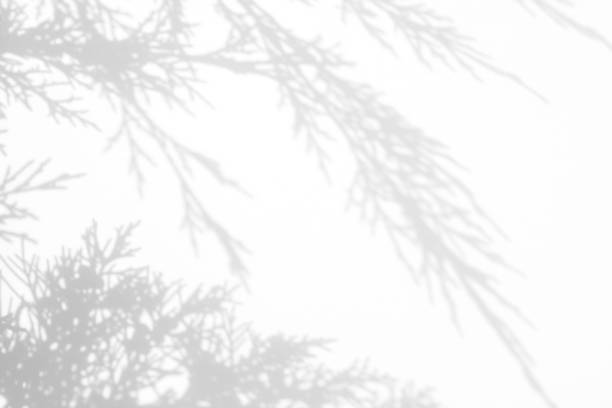 grijze schaduw van jenever naalden op een witte muur - pinaceae stockfoto's en -beelden