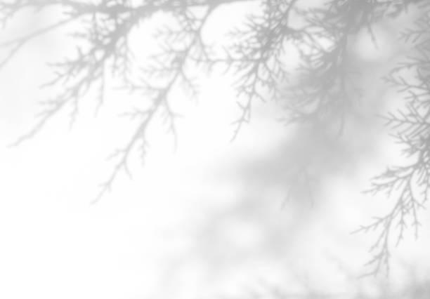grijze schaduw van de naalden van thuja op een witte muur - pinaceae stockfoto's en -beelden