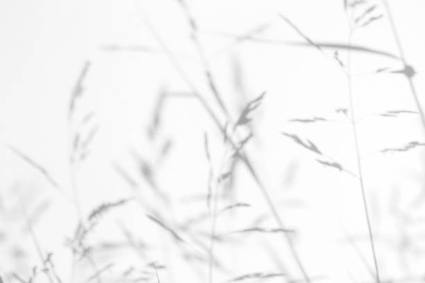 Gray shadows of the delicate grass Gray shadows of the delicate grass on a white wall. Abstract neutral nature concept background. Space for text. Blurred, defocused. Overlay effect for photo, mock-ups, posters, stationary shadow stock pictures, royalty-free photos & images