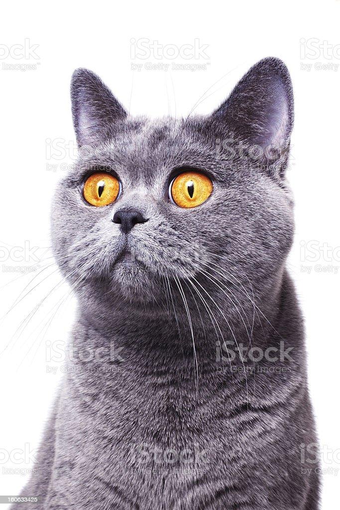 gray shorthair British cat stock photo