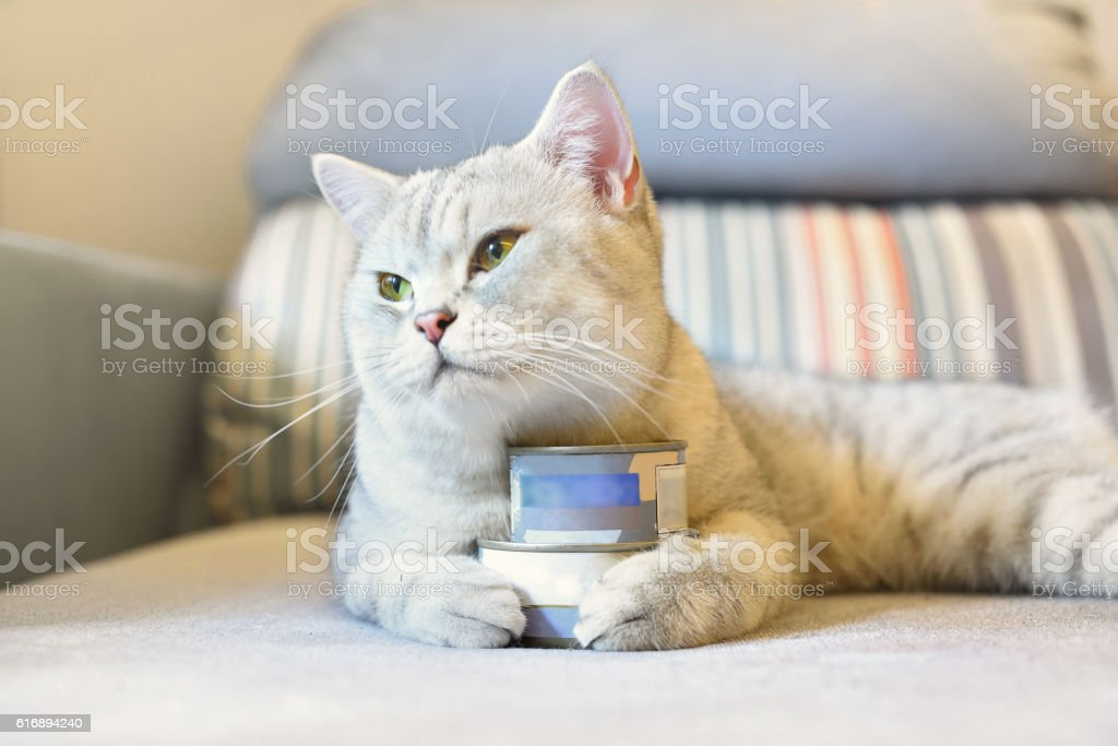 gray shorthair cat and food can stock photo