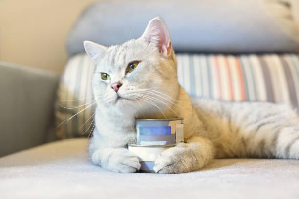 gray shorthair cat and food can - lata comida gato imagens e fotografias de stock