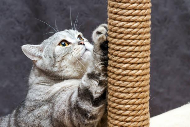 Gray shorthair scottish striped cat scratching a brown post picture id1135379026?b=1&k=6&m=1135379026&s=612x612&w=0&h=fr7g ss8qic tgdtfgegtaqutc 3y0h8tbye8mn9owa=