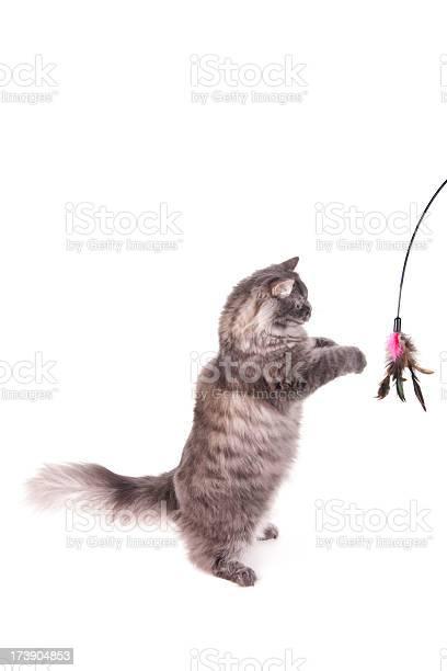 Gray siberian cat standing picture id173904853?b=1&k=6&m=173904853&s=612x612&h=1mhn6xjbxjk9f m1 o8eacsdhgevi8l inlhuo123ym=