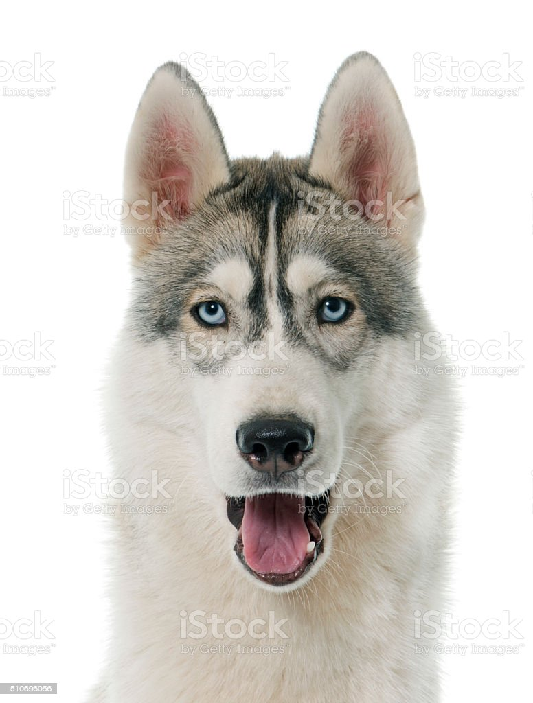 Royalty Free Siberian Husky Howling Pictures Images And Stock