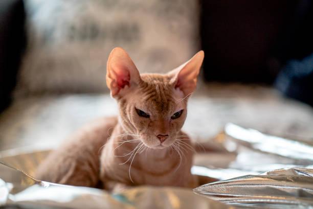 Graue Sphinx Katze – Foto