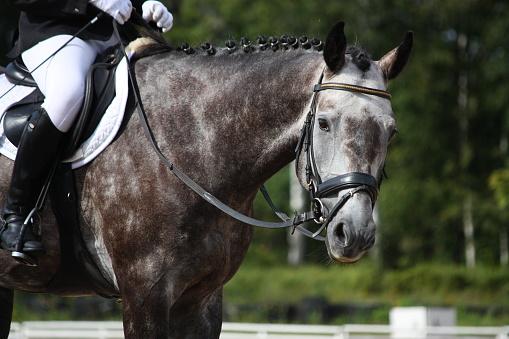 Gray sport horse portrait