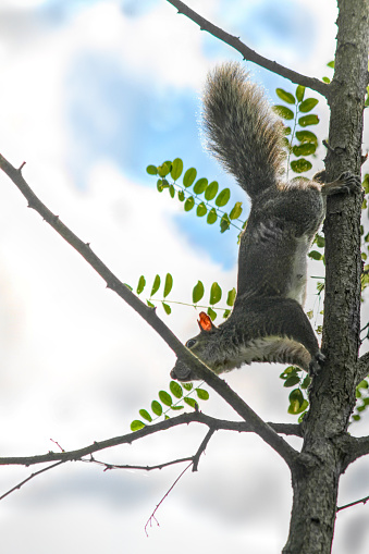 Gray Squirrel (Sciurus carolinensis) as seen fro below climbing down a tree with blue sky and white clouds above.