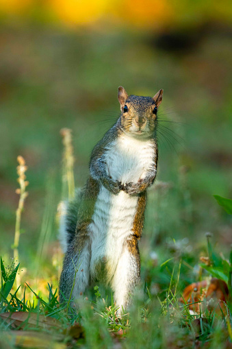 Gray Squirrel standing up in a shaded grass field in Wilmington, NC