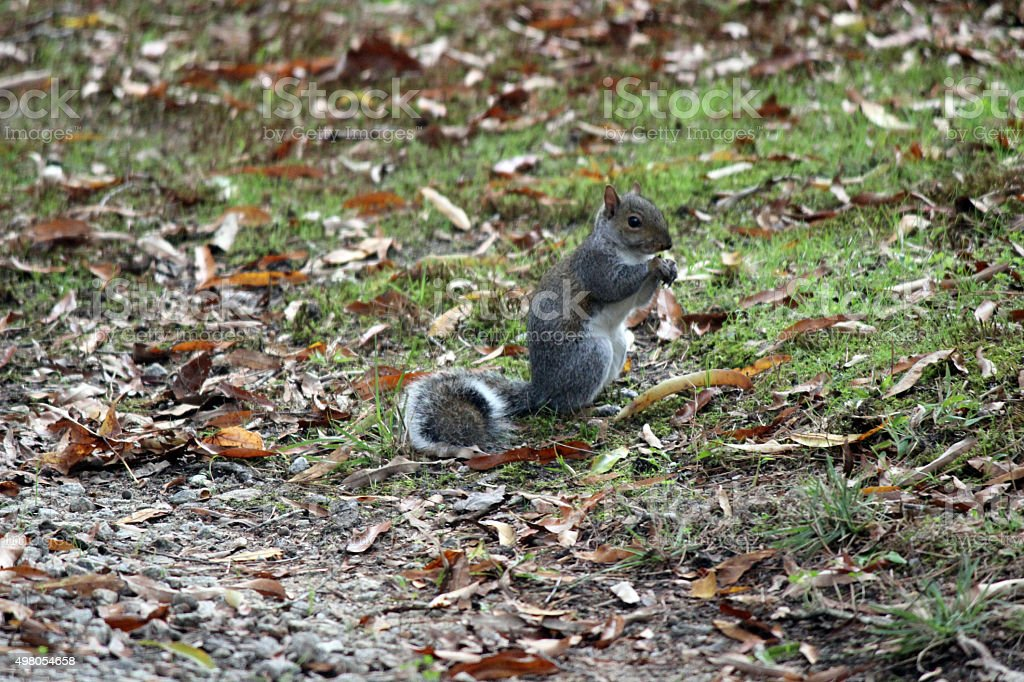 Gray Squirrel Nibbles on Acorn stock photo