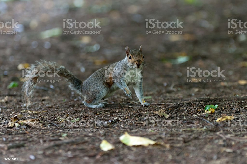 Gray squirrel on alert stock photo