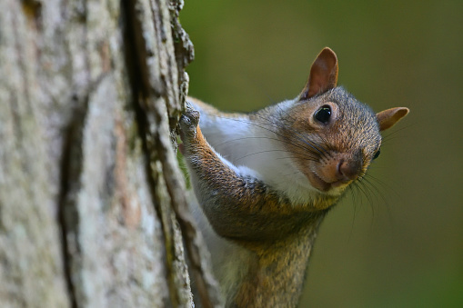 Curious eastern gray squirrel climbing sugar maple in the Connecticut woods