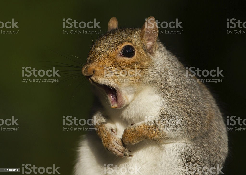 Gray (grey) squirrel (Sciurus carolinensis) stock photo